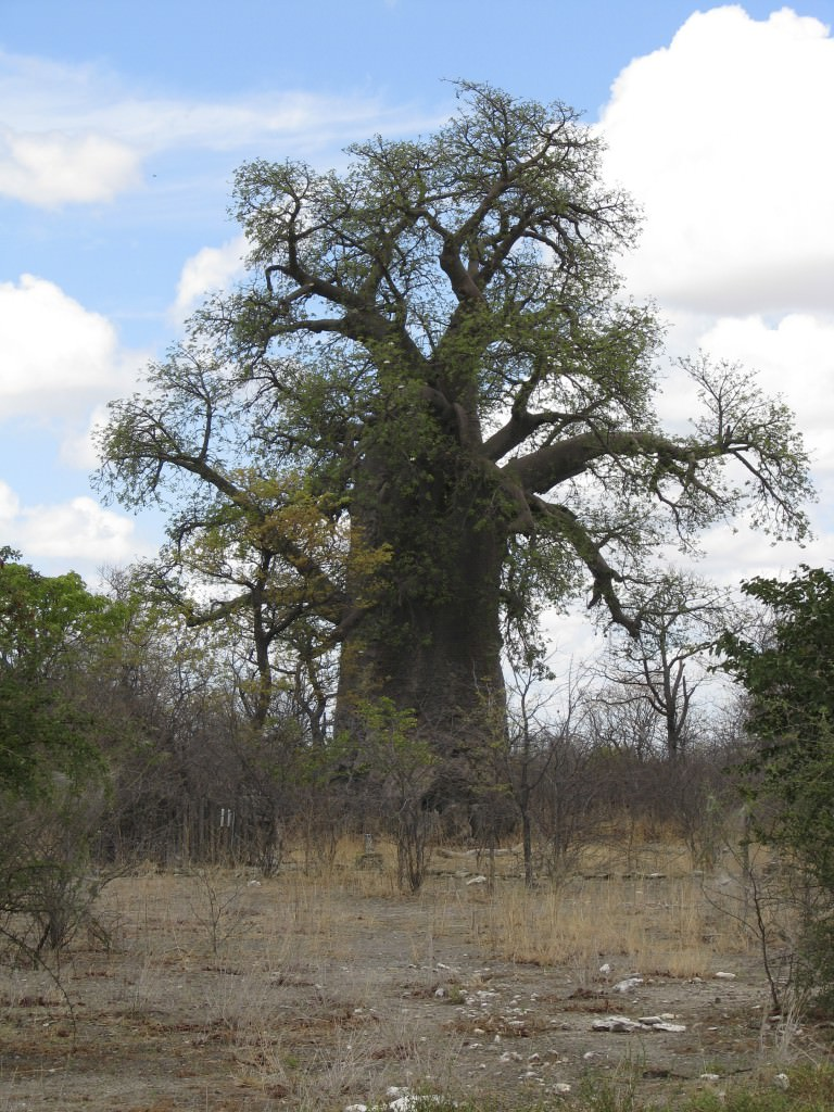 Nyheter, Botswana Adventure, Big tree